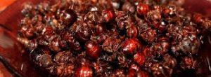 Vendo Hormigas Culonas